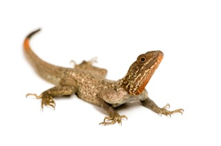 Agamas for sale online