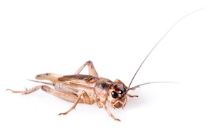 Feeder Insects for Sale | Reptiles for Sale