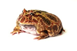 frogs for sale - Picture Of A Frog