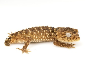 Geckos for Sale | Reptiles for Sale