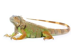Iguanas for sale online