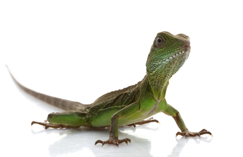 Hatchling Water Dragons for Sale