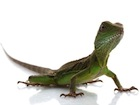 Buy a Hatchling Water Dragon