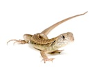 Buy a Butterfly agama - Leiolepis