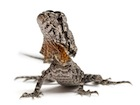 Buy a Frilled dragon
