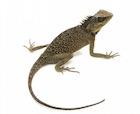 Buy a Mountain horn lizard
