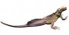 Buy a Sailfin dragon