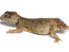 Buy a Shield Tailed Agama