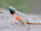 Buy a Spiny Agama Aculeata