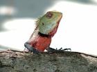 Buy a Calote lizard
