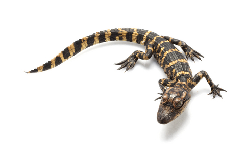 American Alligator for sale