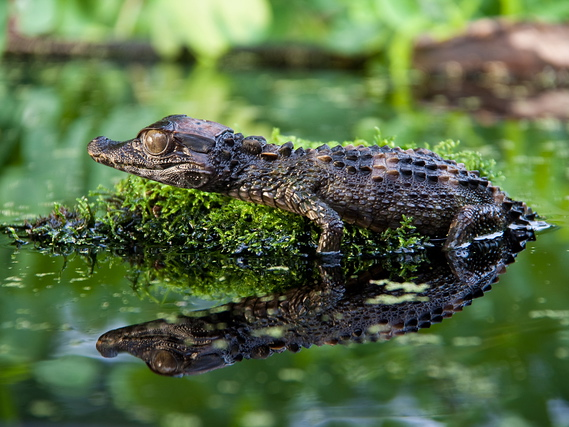 Smooth Fronted Caiman for sale - Paleosuchus trigonatus