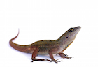 Buy a Brown anole