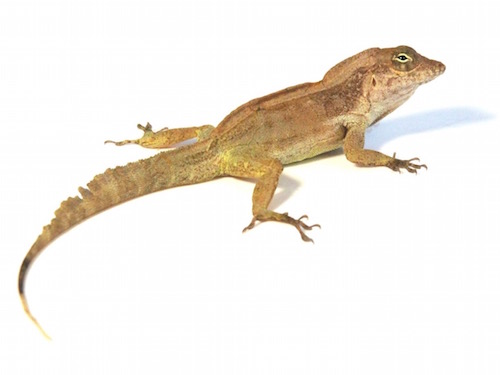 Crested anole for sale