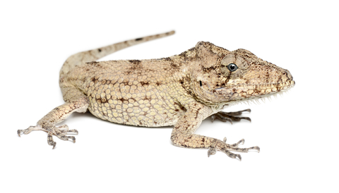 Cuban False Chameleon for sale - Chamaeleolis barbatus / porcus