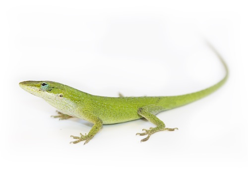 Green anole for sale