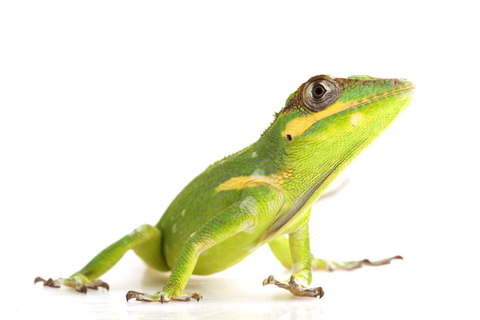 Knight anole for sale