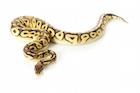 Buy a Ball Python morph