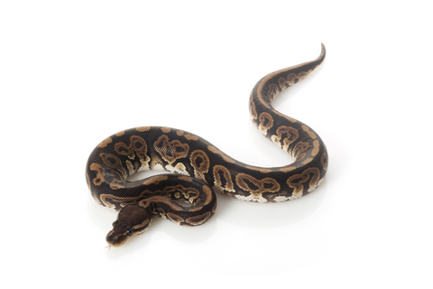 Black Pastel Ball Python for Sale | Reptiles for Sale