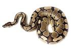 Buy a Ball python