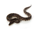 Buy a Black Pastel Ball python