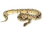 Buy a Fire Ball python