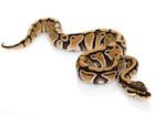 Buy a Pastel Ball python