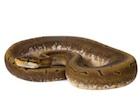 Buy a Spinner Ball python