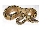 Buy a Woma Ball python