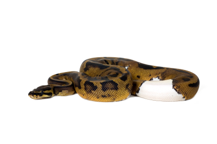 Piebald Ball python for sale
