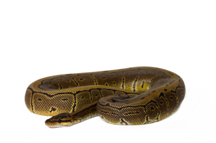 Pinstripe Ball python for sale
