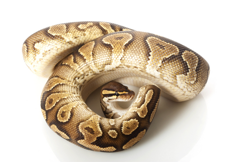 Yellow Bellied Ball python for sale