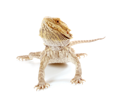 baby Bearded Dragon for sale