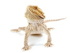 Buy a baby Bearded dragon