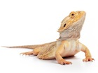 Buy a Bearded dragon