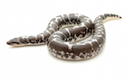 Buy a black and white kenyan sand boa