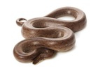 Buy a Columbian Rainbow boa