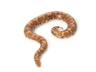 Buy an Egyptian sand boa