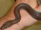 Buy a Guyana rainbow boa snake
