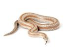 Boas for Sale | Reptiles for Sale