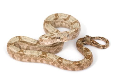 Hog Island Boa for Sale | Reptiles for Sale