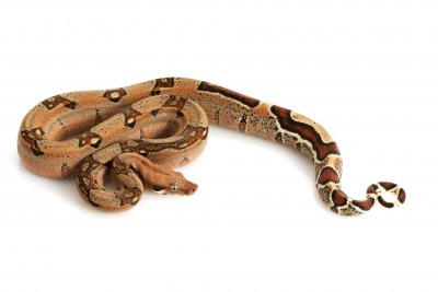 Jungle boa snake for sale