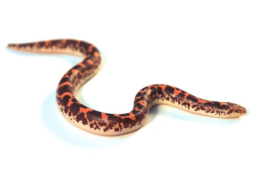 Kenyan sand boa for sale