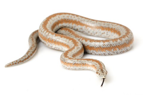 Rosy boa for sale