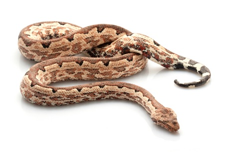 Solomon Island Ground boa for sale - Candoia paulsoni