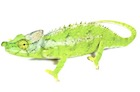 Buy an Antimena chameleon