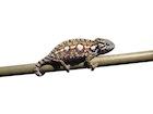 Buy a Carpet chameleon