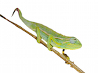 Buy an Elliot's chameleon