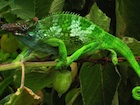 Buy a Fischers chameleon