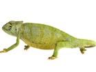 Buy a Graceful chameleon
